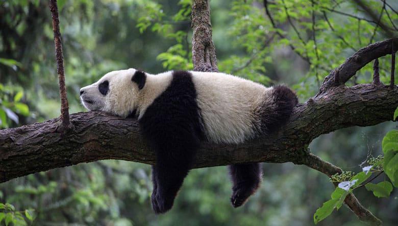 Lazy Panda pic